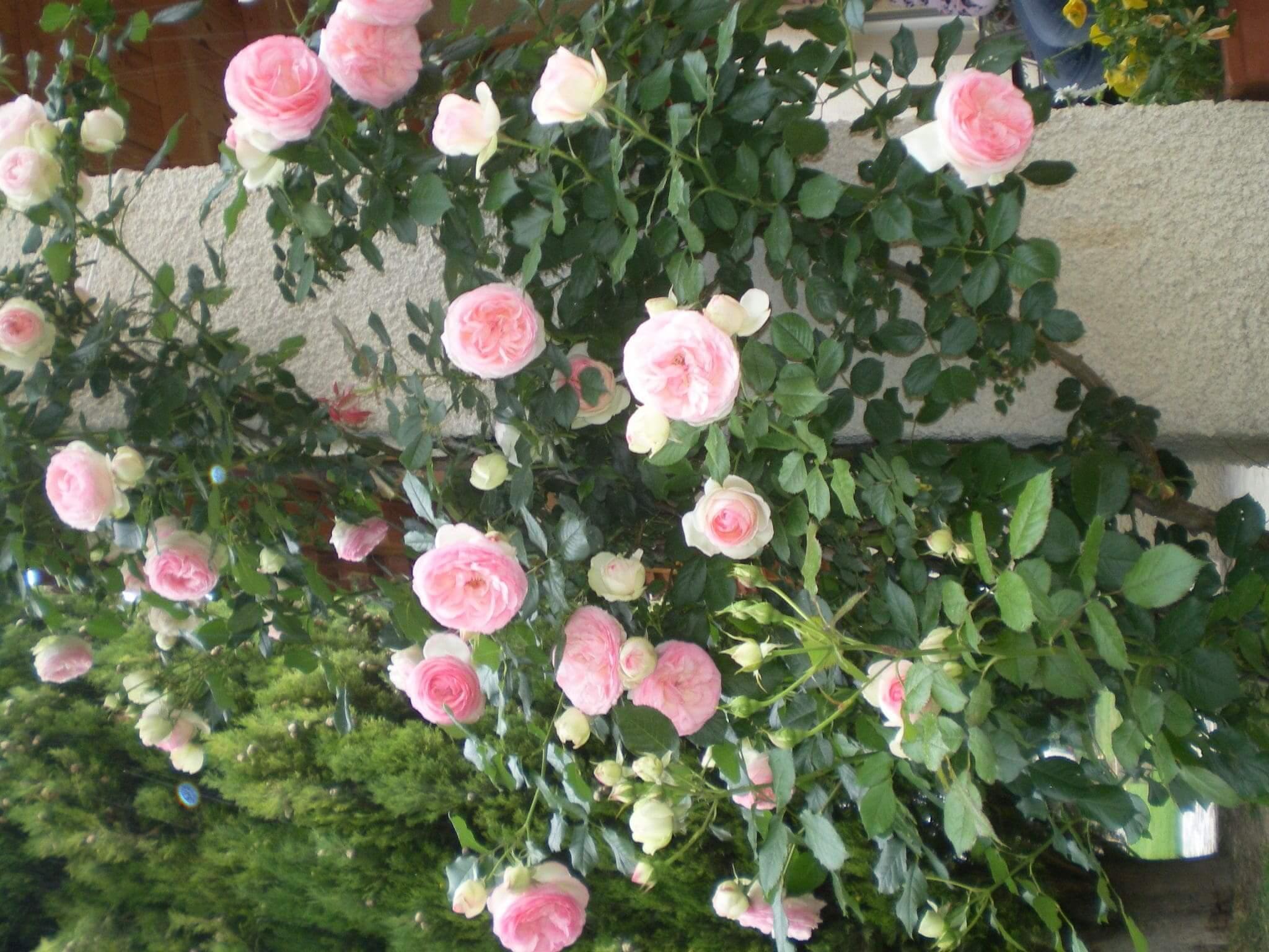 Rosenstrauch Provence Garten