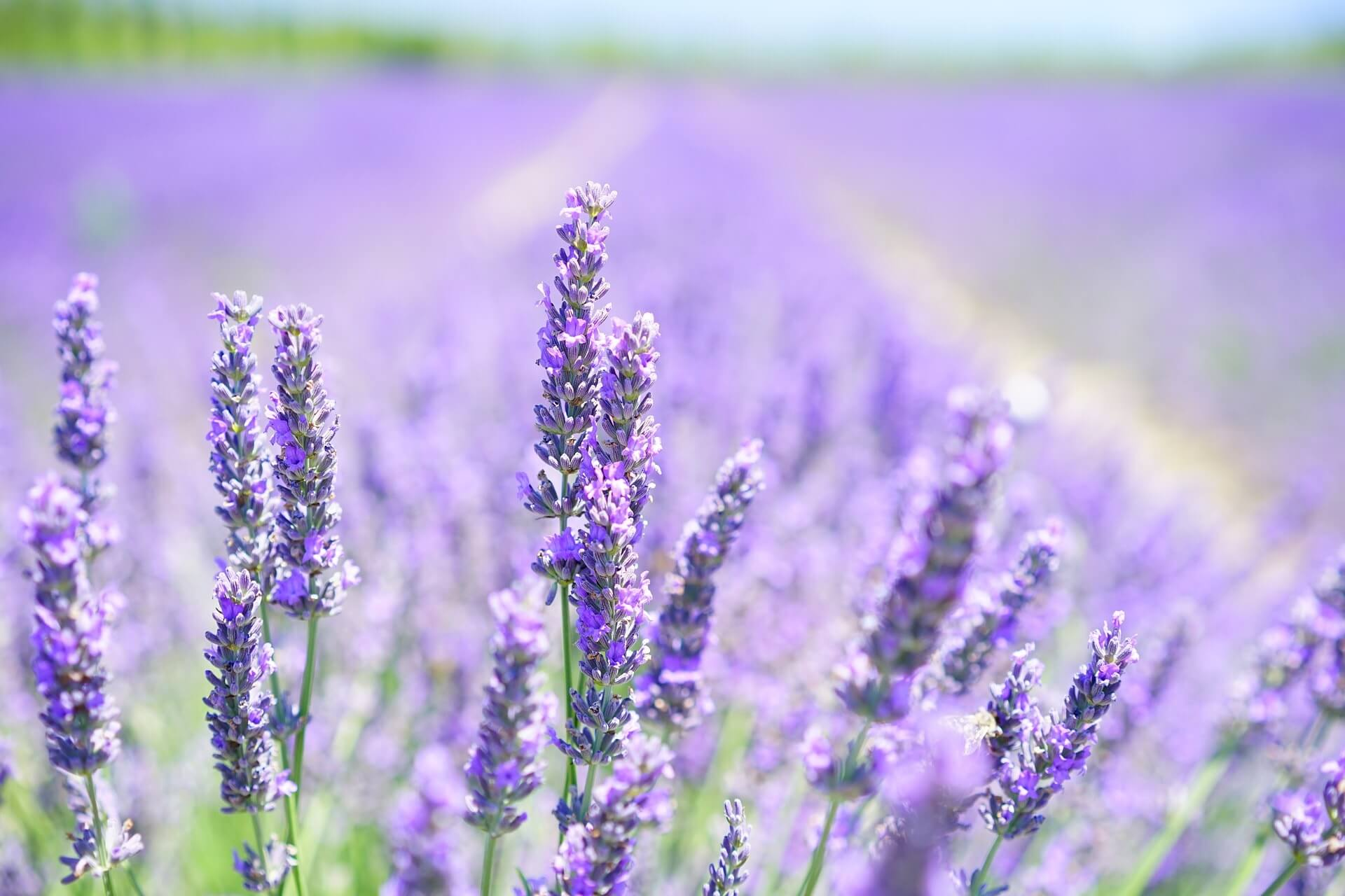 Lavendel Blüte Provence